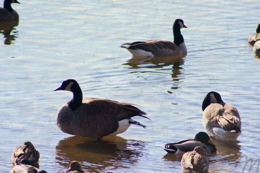 I Miss TheGeese