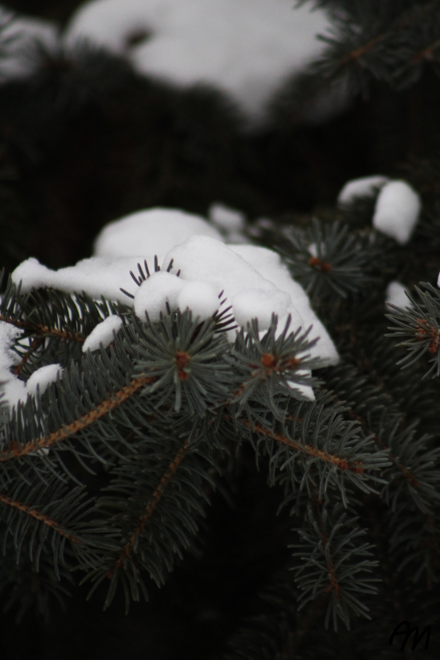 Photo Friday: Snowy Fir