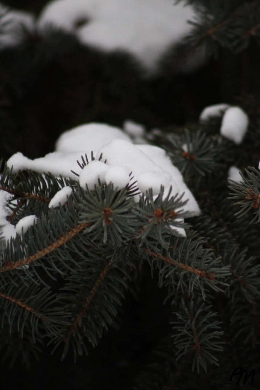 Photo Friday: SnowyFir